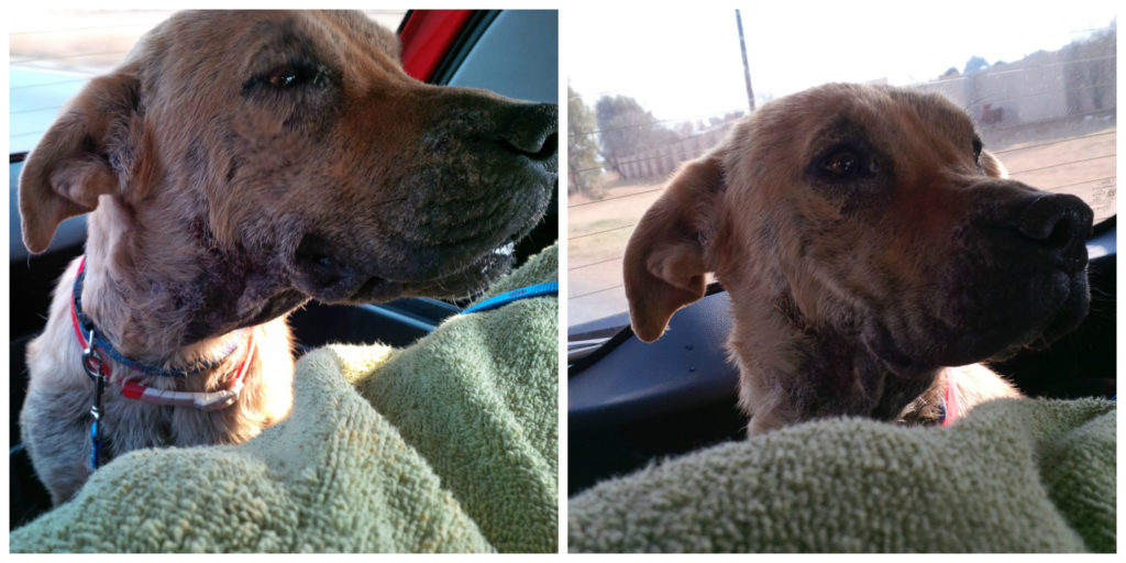 two pictures of a rescue dog on her way to see a vet