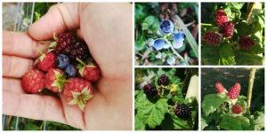 A handfull of raspberries, blueberries and blackberries