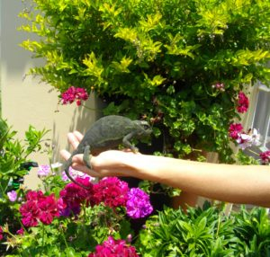 A woman holds a large chameleon that she found in her flower pot
